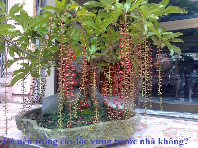 trong-cay-loc-vung-truoc-nha-co-tot-khong-7